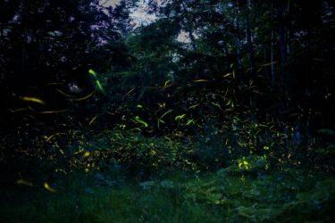 蛍の時期と見ごろはいつ?ホタルを見る条件と光を放つ理由